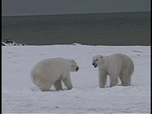 Stock Video Footage of polar bears have a friendly tussle in Churchill, Alaska.