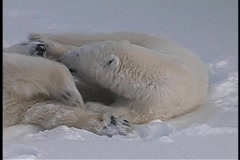 Polar bears roll and tussle in a snow-covered wilderness in Churchill, Alaska. Stock Footage
