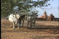 Oxen aid a man in plowing an arid field in Asia. Stock Footage