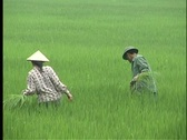Farmers harvest rice in Vietnam. Stock Footage