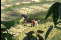 A birds-eye view of farmers harvesting rice, by hand, in Nepal, Asia. Stock Footage