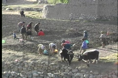 A birds-eye view of families working together with oxen, to harvest potatoes in Stock Footage
