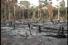 Pan-right across a burnt forest of trees. Stock Footage