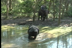 One rhino splashes in a river as a second one waits in the forest in Asia. Stock Footage