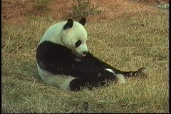A panda bear rolls in the grass in a Beijing Zoo. Stock Footage