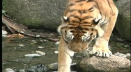 Stock Video Footage of A Bengal tiger wades in a green river in Southeast Asia.