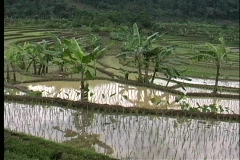 Pan-right over a rice paddy in Bali, Indonesia. Stock Footage