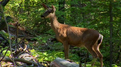 A deer in a forest at day. - stock footage