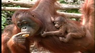 Stock Video Footage of A baby orangutan clutches its mother as she eats.