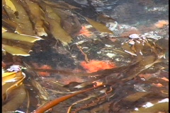 A close-up of floating kelp along the coastline of British Columbia in Canada. Stock Footage