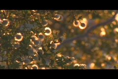 Golden light shines on flowering tree as it rustles in the breeze. Stock Footage