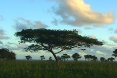 An acacia tree stands alone in the foreground with many more silhouetted against Stock Footage