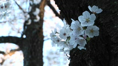 Spray of dogwood blossoms wrapped around trunk of the tree Stock Footage