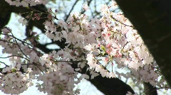 The camera pans across a tree filled with waving cherry blossoms Stock Footage