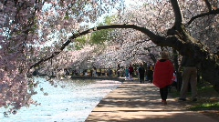 Tourists walk a path lined with beautiful cherry trees in full bloom Stock Footage