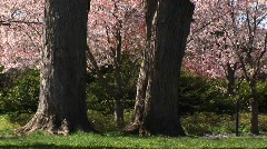 Trunks of two large trees and beautiful cherry blossoms Stock Footage