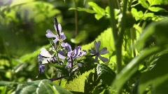 Camera pans left and focuses on purple wildflowers Stock Footage