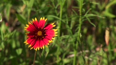 Close-up of a red and yellow Texas wildflowers Stock Footage
