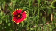 Stock Video Footage of Close-up of a red and yellow Texas wildflowers