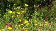 Stock Video Footage of Medium-shot of yellow and red Texas wildflowers swaying in the breeze