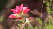 Stock Video Footage of Close-up of a pink Texas wildflower