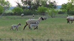 An ewe and her two lambs walking across a field with other sheep Stock Footage