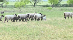 Following-shot of a flock of sheep Stock Footage