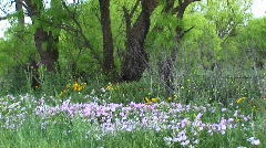 Medium-shot of pink and yellow Texas wildflowers Stock Footage