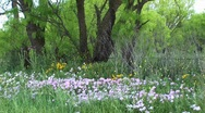 Stock Video Footage of Medium-shot of pink and yellow Texas wildflowers