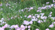 Stock Video Footage of Medium-shot of pink and white Texas wildflowers