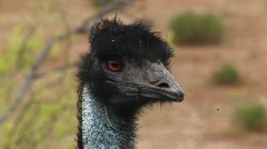 Close-up of an Emu's head as it looks around Stock Footage