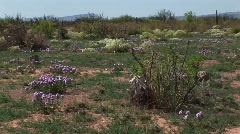 Medium-shot of Texas wildflowers blooming on the desert floor Stock Footage