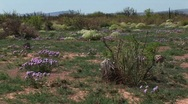 Stock Video Footage of Medium-shot of Texas wildflowers blooming on the desert floor