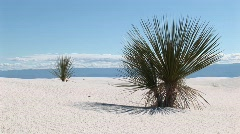 A yucca plant at White Sands National Monument in New Mexico Stock Footage
