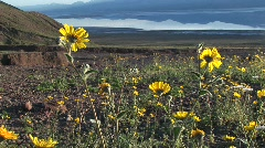 Medium shot of wildflowers blooming in Death Valley National Park Stock Footage