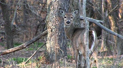 Medium-shot of a female white-tail deer standing next to a tree Stock Footage