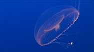 Stock Video Footage of Underwater shot of a jelly-fish floating gracefully