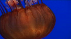 Underwater close-up of a jelly-fish swimming - stock footage