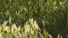 Close-up of wheat growing in Canyon De Chelly - stock footage