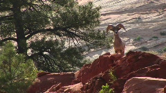 A desert Bighorn sheep atop a hill in Zion National Park Stock Footage