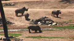 Long-shot of four rhinos standing around a stream Stock Footage