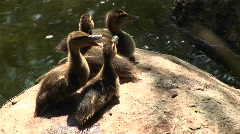 Four baby ducklings sitting on a rock Stock Footage