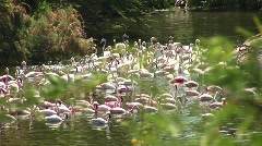 Long-shot of a flock of flamingos congregating in the water - stock footage