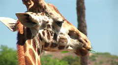 Close-up headshot of a giraffe chewing on a leaf Stock Footage