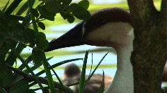 Close-up of a goose hiding among the reeds in the water Stock Footage