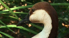 Close-up headshot of a an African goose sitting among the reeds Stock Footage
