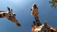 Worm's-eye shot of three giraffes chewing Stock Footage