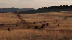 Medium-shot of buffalo migrating across a grassy plain Stock Footage
