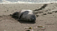 Seal pup on beach- suffering 1 Stock Footage
