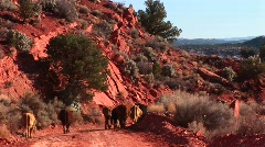 A herd of cows strolling down a rocky hillside path in Utah Stock Footage